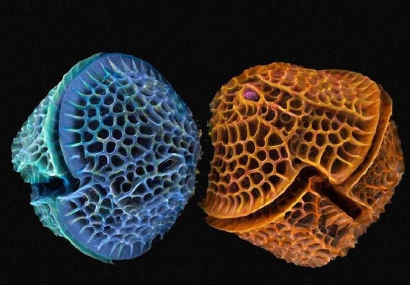 фото водорослей диатомит